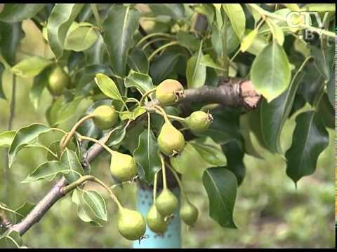 Как защитить сочные плоды груши от вредителей?