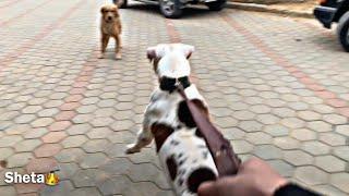 Pitbull vs golden retriever