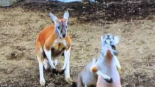 カンガルー同士が喧嘩をしています。途中、大きなカンガルーが仲裁に入...