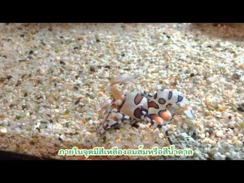 กุ้งการ์ตูน (Harlequin shrimp)