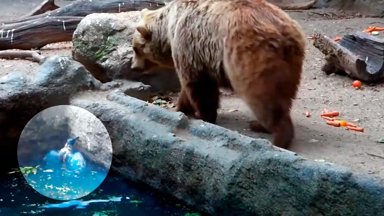 Когда ворона упала в пруд и не могла выбраться, камера зафиксировала невероятное поведение медведя!