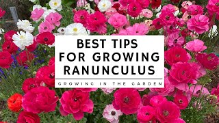 HOW to PLANT and GROW RANUNCULUS plus TIPS for growing ranunculus in HOT CLIMATES