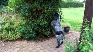 Alfie, a dopey English Cocker Spaniel