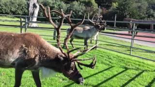 Reindeer Romp