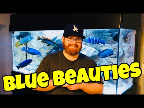 Stunning BLUE African Cichlids (COLORFUL)