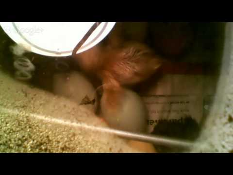 MRH Middle School Chick Hatch Feed (Live)