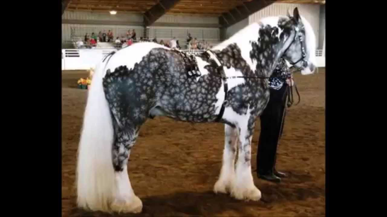 neighing 2 tobiano snowflake dapple silver gypsy vanner horse