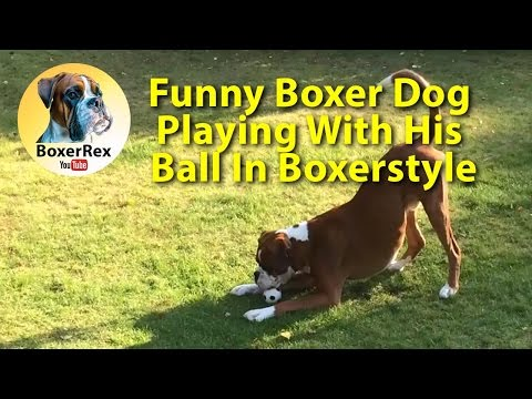 Funny Boxer dog Rex playing with ball ⚽ 😂