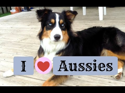 You Know You're An Aussie Owner When... |Life With Aspen|