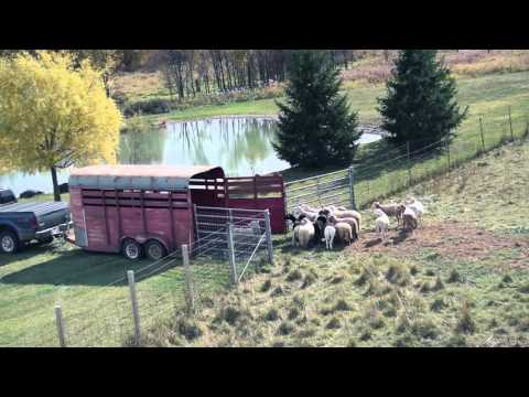 Sustainable Farming - Grass Fed Sheep and Free Range Trailer Loading!