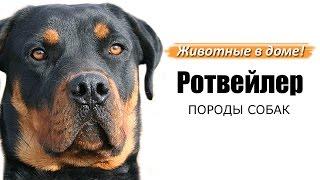 Ротвейлер - породы собак.