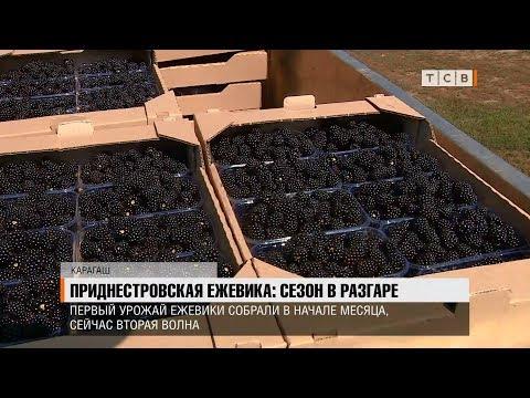 Приднестровская ежевика: сезон в разгаре