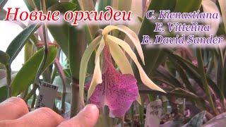 Новинки орхидей каттлея брассавола энциклия Посадка и адаптация Saint Andre снова цветет