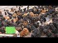 【大量放棄】チベタン・マスティフのブリーダー崩壊により数千匹が放棄される