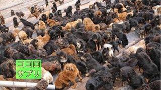 チャンネル登録はこちら→https://goo.gl/cUgUX4 チベタン・マスティフと...