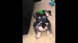 Murphy The Talking Mini Schnauzer