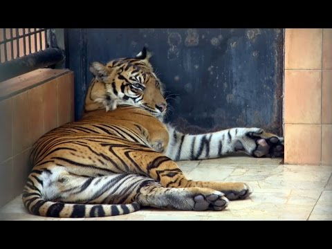 Amputee Tiger Saved From Poachers - Tigers About The House: What Happened Next - BBC Earth