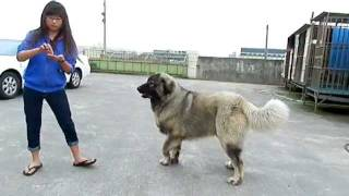 高加索犬Caucasian Ovcharka Mountain Dog