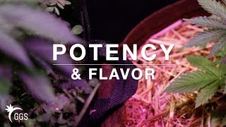 Potency, Flavor & Growth Selections: Indoor No Till Living Organic Cannabis Cultivation