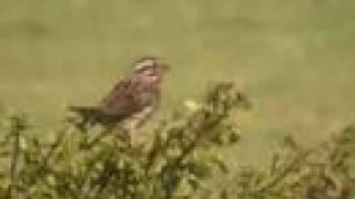 Spatz [Sparrow] [stumm]
