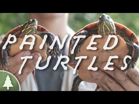 Field Herping - Midland Painted Turtles