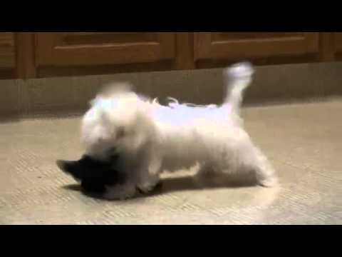 Funny Baki the Bolonka dog playing with a sock