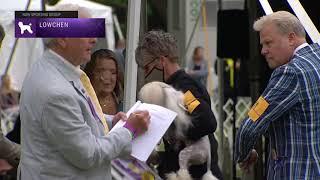 Lowchen | Breed Judging 2021