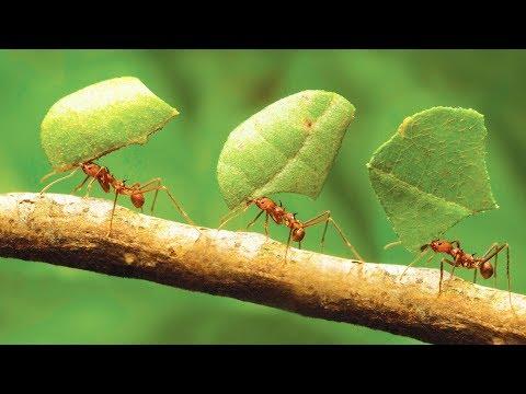 Comment Les Fourmis Ont Inventé L'agriculture - ZAPPING SAUVAGE