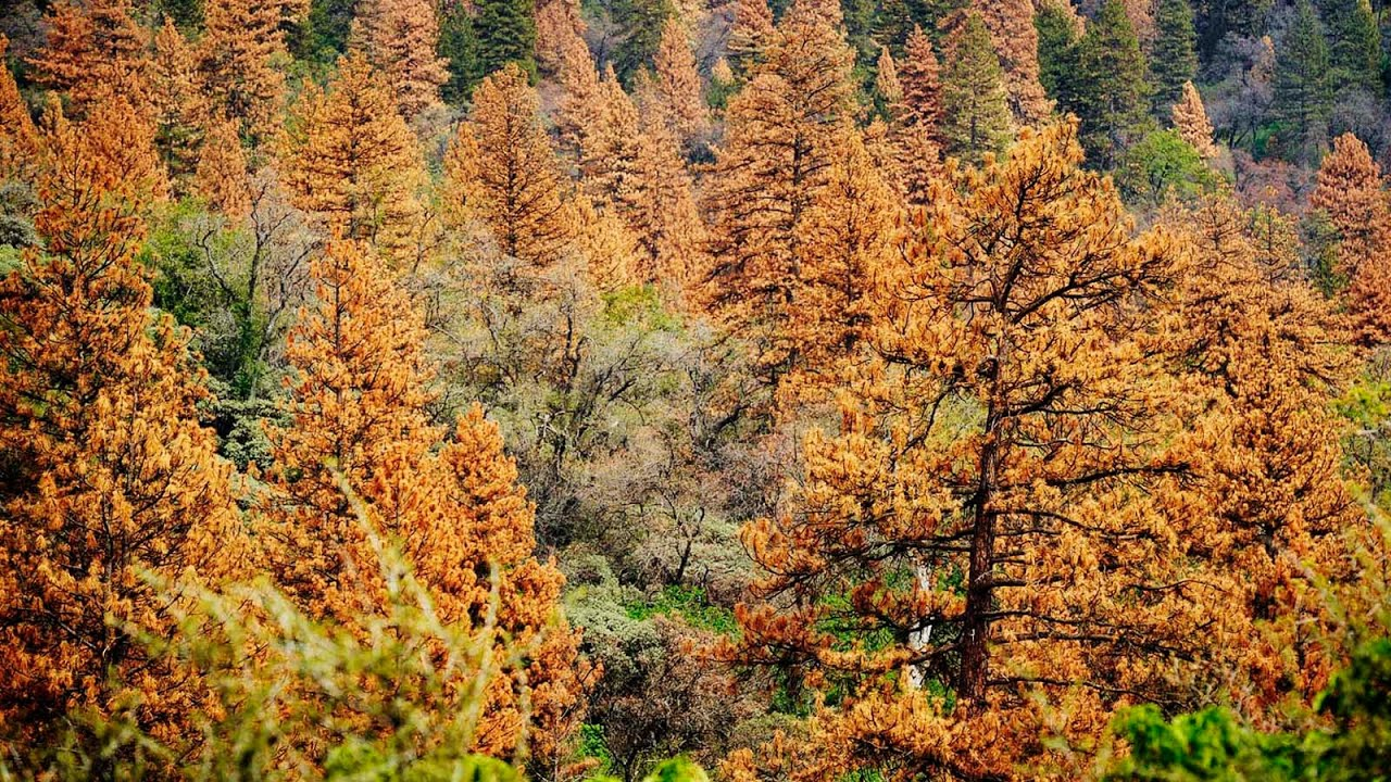 Image result for pine tree dying