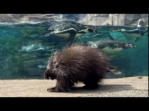 Porcupines And Penguins Are Hanging Out Together At Woodland Park Zoo - KING 5 Evening