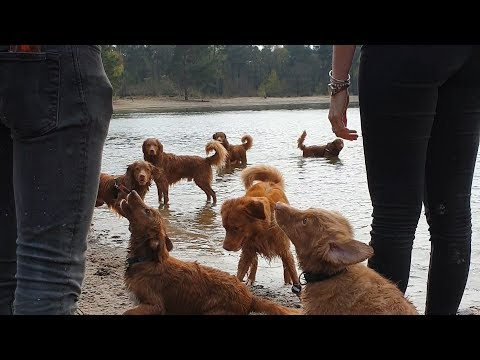 Toller group walk with 26 Tollers in the Netherlands