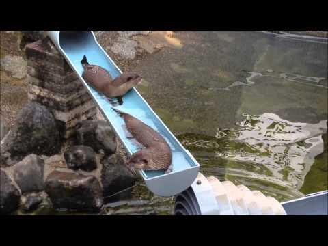 噂の流しカワウソ 4連発-flowing otter