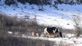 群れから外れた1頭の馬を受け入れた6匹のオオカミの群れ