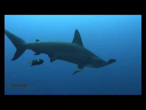 Hammerhead Shark Squalo Martello Youtube