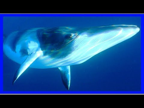Scientists renew objections to japan's whaling program