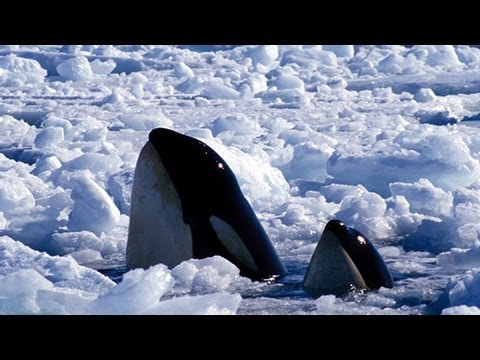 KILLER WHALES TRAPPED IN ICE - Stranded Orcas Under Ice Need Help