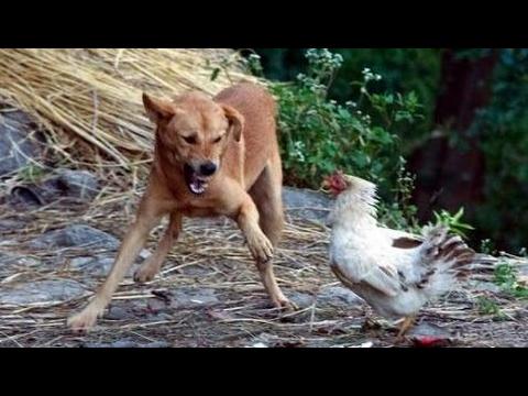 ニワトリに喧嘩を売ったらフルボッコにされたイキリ犬