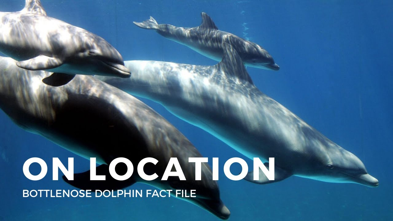 Dolphins Facts - On Location in Australia