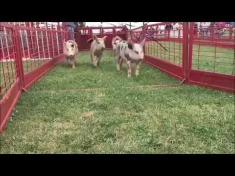 Pig racing at the Dodge County Fair