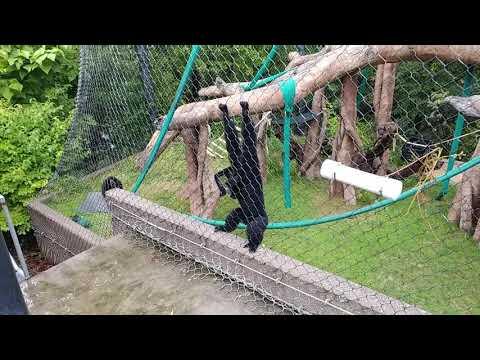 Siamang Gibbons howling at Omaha's Henry Doorly Zoo and Aquarium