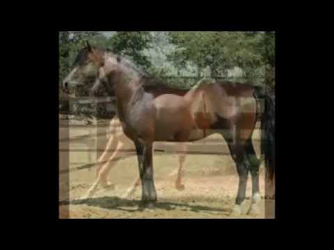 The Morgan Horse Facts Breeding and History
