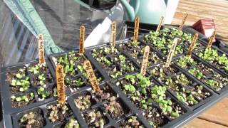 Fall Gardening: Planting A Pop Up Greenhouse: Seeds And Transplants 2 Of 6 - Trg 2014