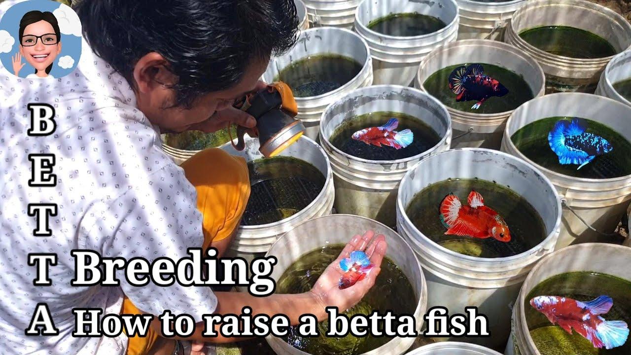 บุกฟาร์มอาจารย์น้อยEP.3 เข้าคู่ปลากัด คัดและขุน ลงทุนลงเวลา #ป้าตุ้ยยูทูป