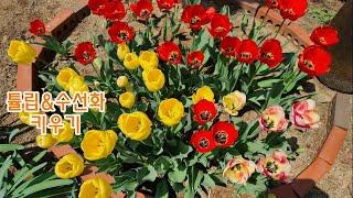 튤립과 수선화 키우기, 정원에 튤립구근심는법, 구근캐서…