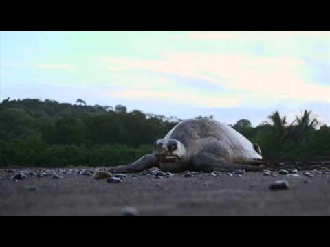 Costa-riquenhos envolvem-se na proteção de tartarugas marinhas
