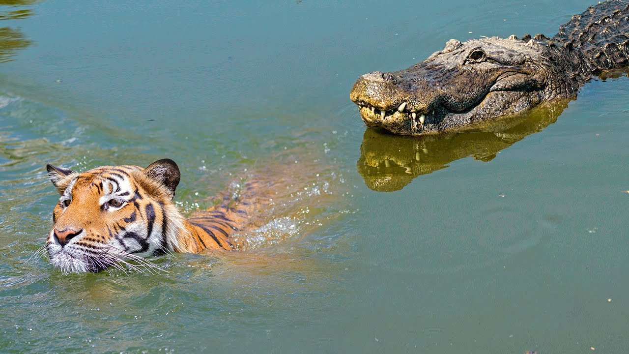 Moments When Big Cats Face the Crocodile