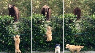 بالفيديو.. كلب صغير يمنع 'دب' من دخول حديقة المنزل