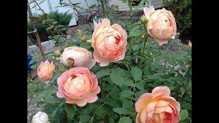 Июнь.  Обильное цветение роз. Сорта. Чем кормлю и как защищаю?