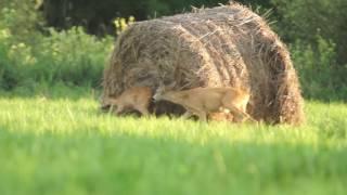 Sarny - kozioł atakuje koze -  miłosne zaloty :)