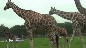 Kirahvi - Giraffe